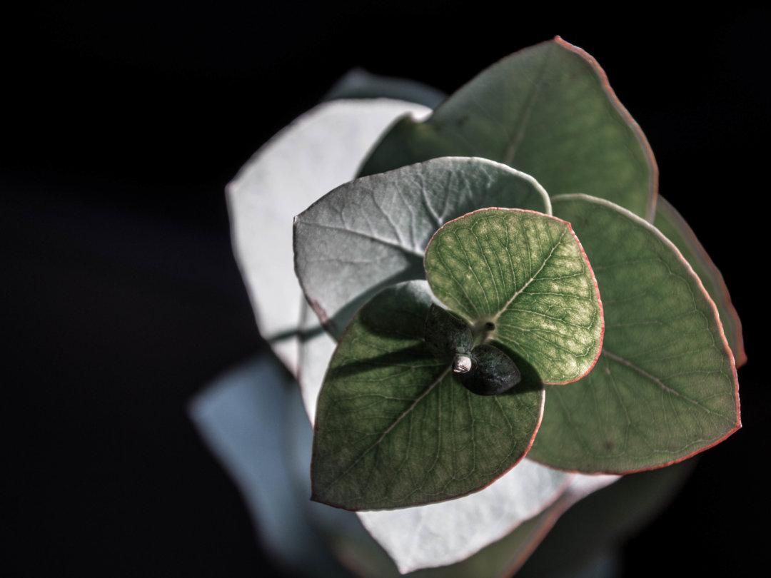 Details: Eukalyptus Macroansicht